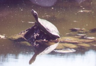 Turtle Reflected